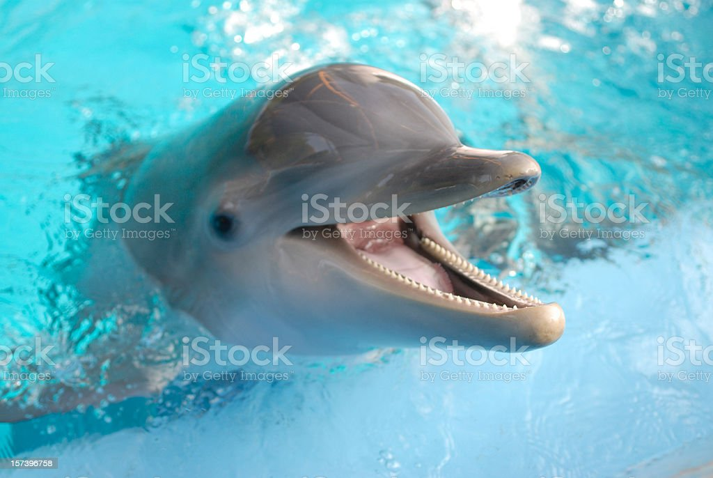 Dolphin with mouth open stock photo