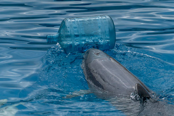 Dolphin with plastic bottle cleaning the sea Dolphin pushing plastic bottle cleaning the sea cetacea stock pictures, royalty-free photos & images