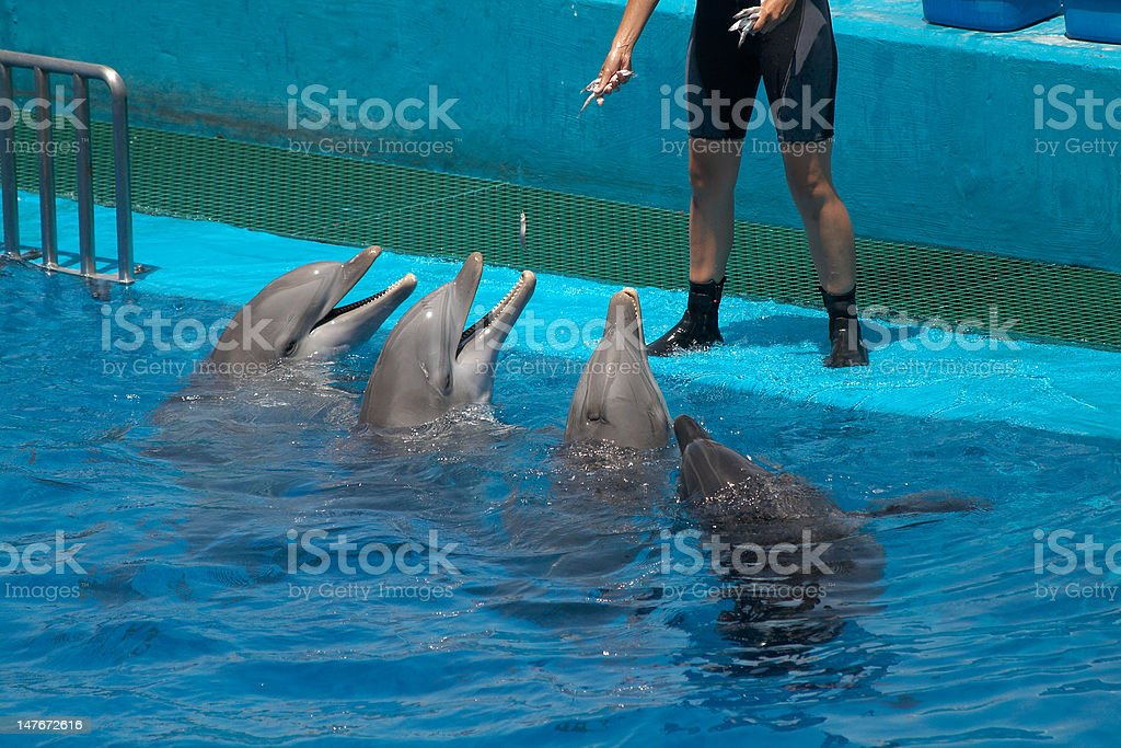 Dolphins and trainer stock photo