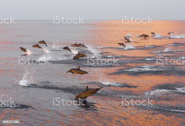 Dolphins are pursuing a flock of fish at sunset family of dolphins in picture id938231580?b=1&k=6&m=938231580&s=612x612&h= fzklyxg8cb4pwo9 7sxibgzvky v2 jwuscdwmkeoy=