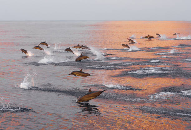 Dolphins are pursuing a flock of fish at sunset. Family of dolphins in the Indian Ocean, Maldives. Dolphins are pursuing a flock of fish at sunset. Family of dolphins in the Indian Ocean, Maldives. dolphin stock pictures, royalty-free photos & images