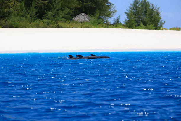Delphine um Mnemba Island vor Sansibar, Tansania. – Foto