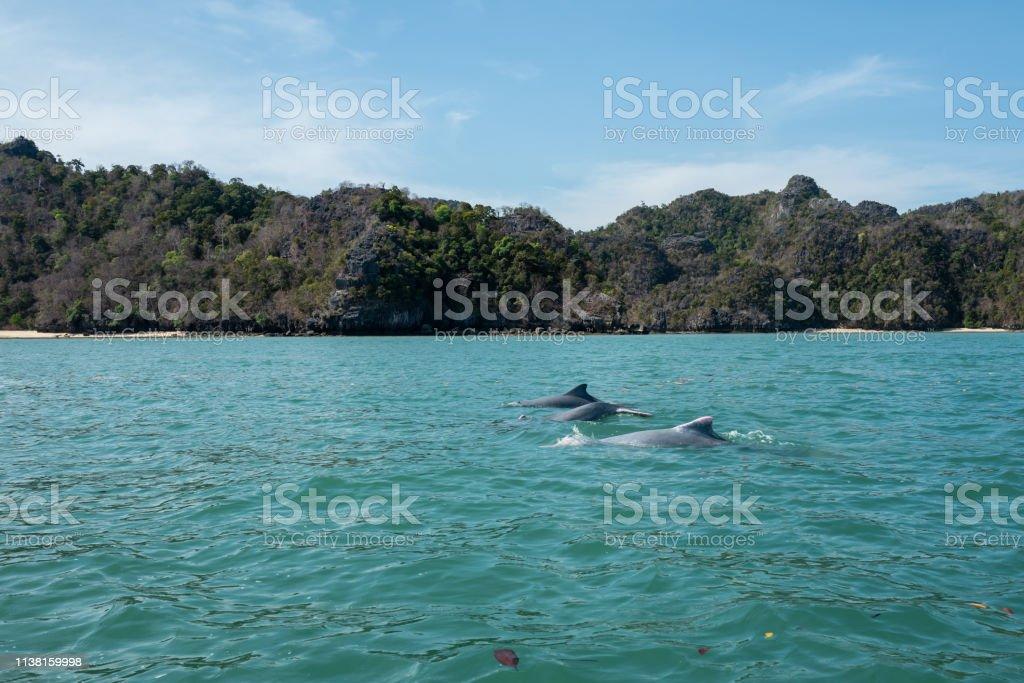 Dolphins at Mangroves tour in Kilim Karst Geoforest, Langkawi stock photo
