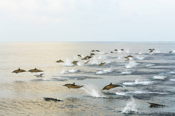 Dolphins hunt at sunset in the tropical sea. Dolphins hunt at sunset in the tropical sea. Pink sky reflected in a calm ocean. Wet glittering animal bodies above water dolphin stock pictures, royalty-free photos & images