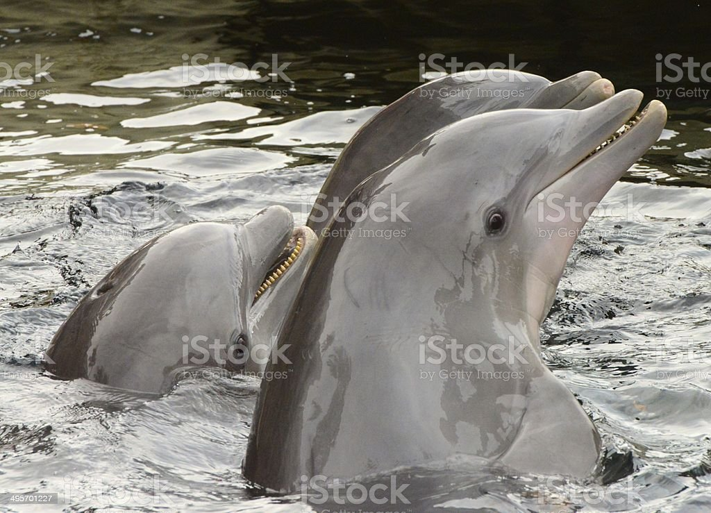 Dolphins In Hawaii royalty-free stock photo