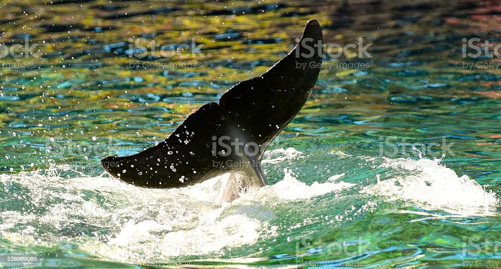 Dolphins In Hawaii stock photo