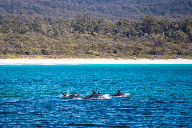 Dolphins in the Bay of Fires stock photo