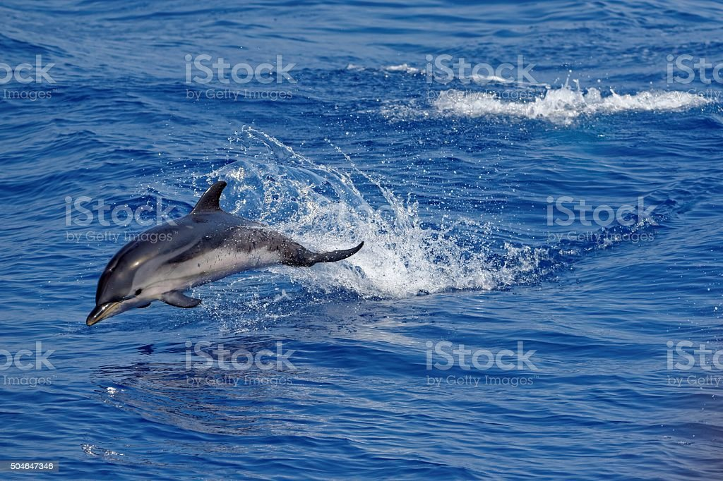 Dolphins in the Gulf of Genoa stock photo