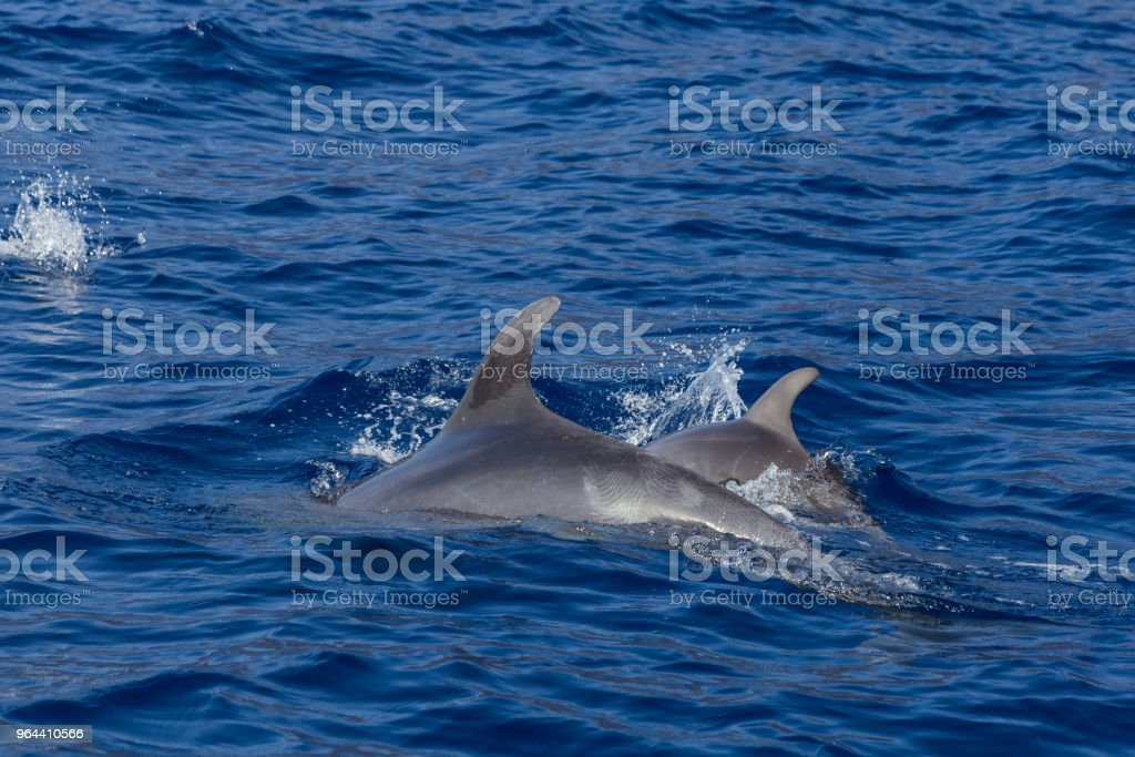 Dolphins in the ocean. - Royalty-free Animal Stock Photo