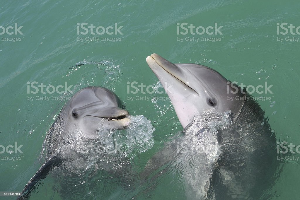 Dolphins interacting stock photo