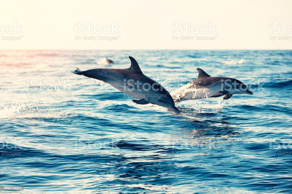 Dolphins Jumping From The Sea stock photo