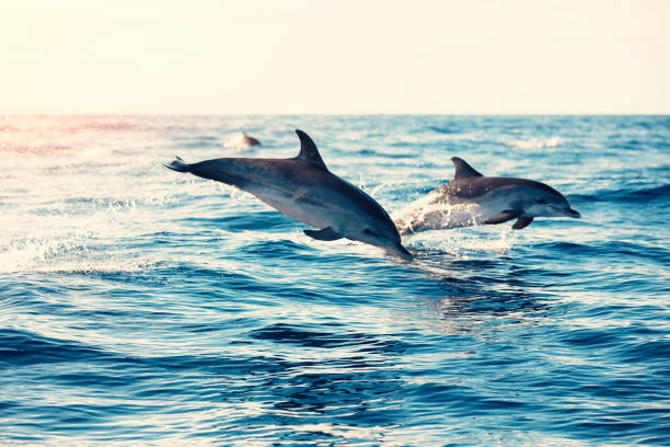 Dolphins Jumping From The Sea Group of dolphins jumping from the sea (Atlantic Ocean, Madeira Island). cetacea stock pictures, royalty-free photos & images