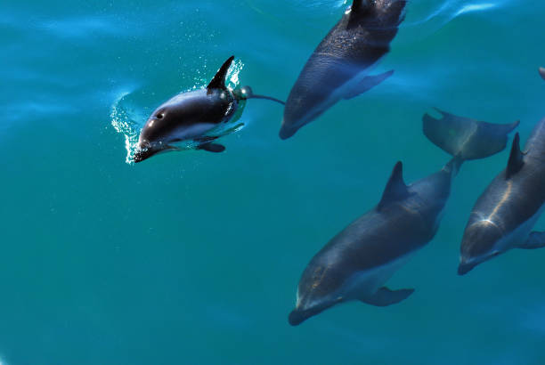 Dolphins jumping in the ocean stock photo