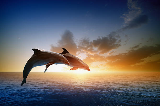 Dolphins jumping Couple jumping dolphins, beautiful sea sunset dolphin stock pictures, royalty-free photos & images