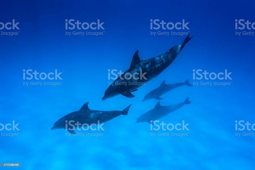 Dolphins of Zanzibar royalty-free stock photo