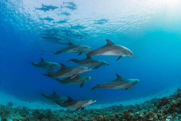 Dolphins A large group of dolphins in the Red Sea. dolphin stock pictures, royalty-free photos & images