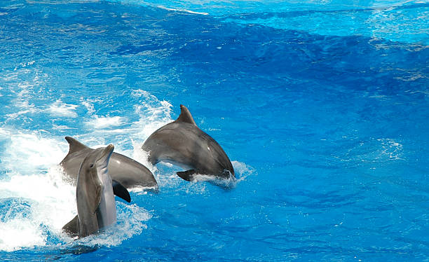 dolphins show off - orlando florida photos stock photos and pictures
