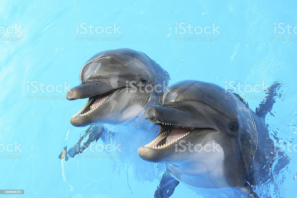 Dolphins swim in the pool stock photo