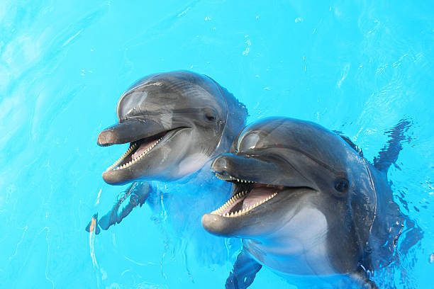 Dolphins swim in the pool Two dolphins swim in the pool dolphin stock pictures, royalty-free photos & images