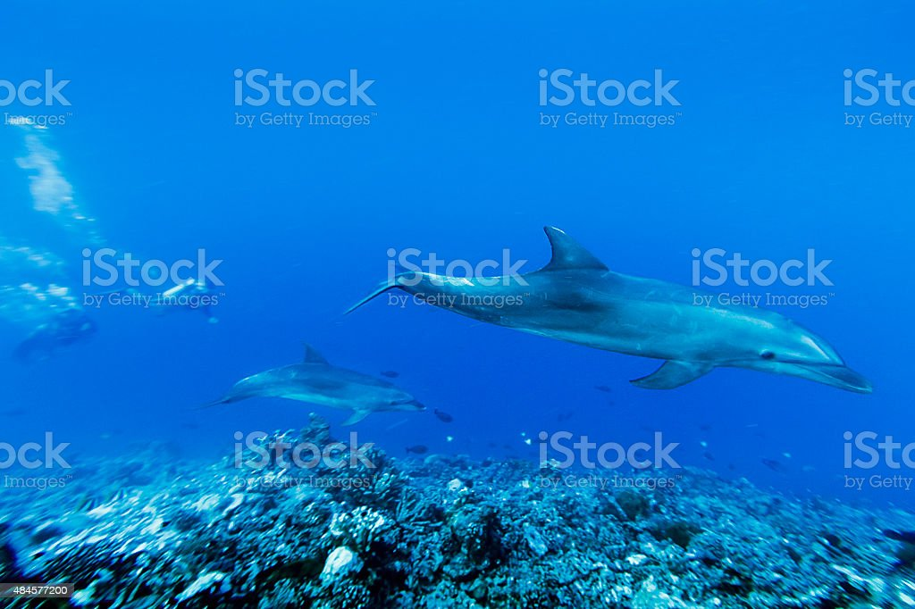 Dolphins Swimming Deep in Tiputa Pass, French Polynesia stock photo