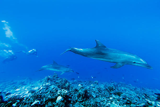 Dolphins Swimming Deep in Tiputa Pass, French Polynesia A DSLR underwater photo of two dolphins in the depths of Tiputa Pass in Rangiroa, French Polynesia. They are swimming from left to right over a reef and among some small fishes. In the background, surrounded by the bluish of the sea, are two out of focus scuba divers. indo pacific ocean stock pictures, royalty-free photos & images