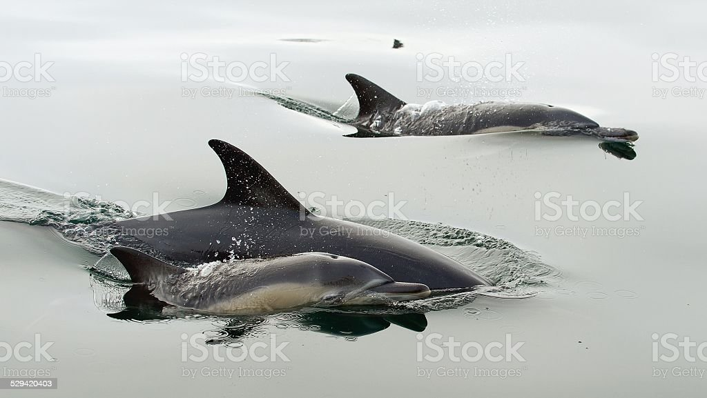 Dolphins, swimming in the ocean Dolphins (Delphinus capensis) swimming in the ocean Africa Stock Photo