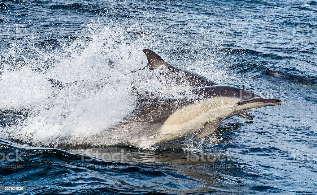 Dolphins, swimming in the ocean stock photo