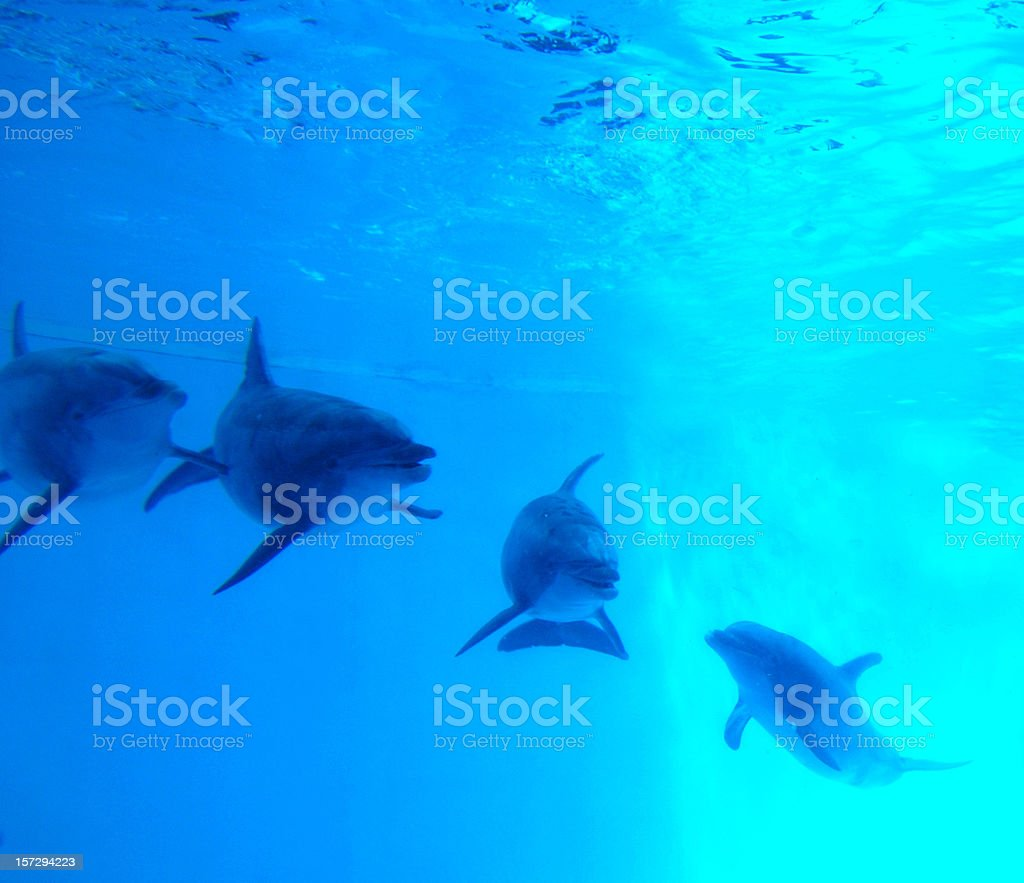 Dolphins swimming underwater in blue water royalty-free stock photo