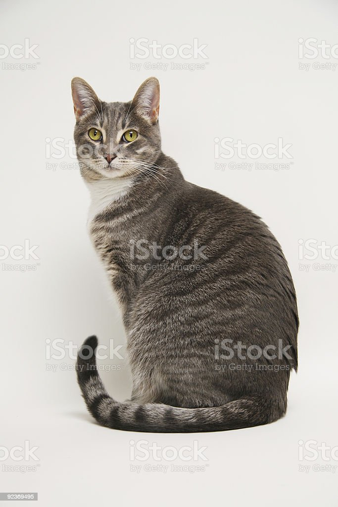 Domestic adult tabby cat royalty-free stock photo