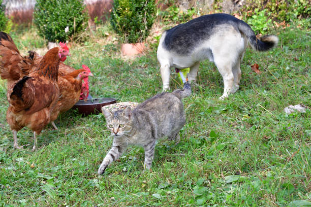 Domestic animals chicken dog and cat eating together as best friend stock photo