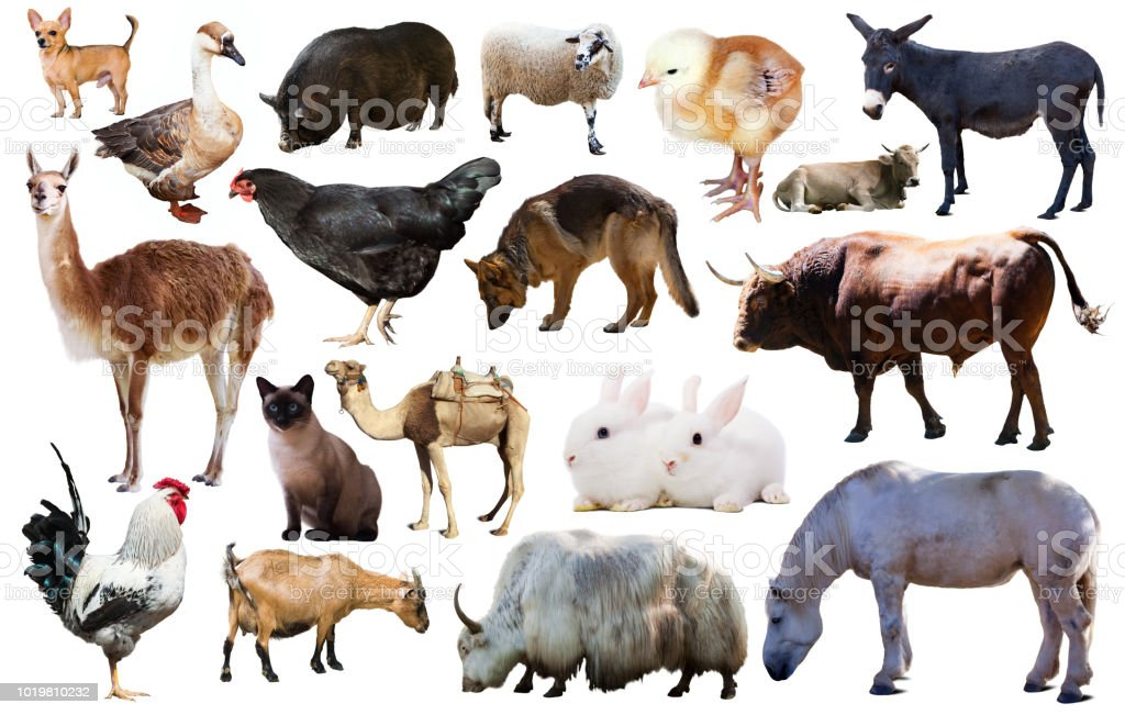 Domestic Animals Collection Stock Photo Download Image Now Istock