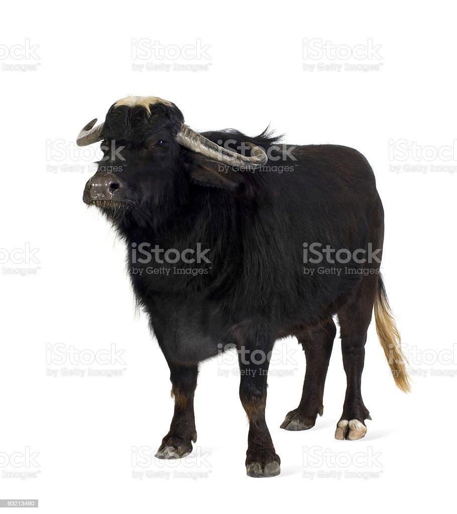 Domestic Asian Water buffalo - Bubalus bubalis royalty-free stock photo