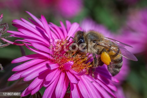 istock Domestic bee. Apis mellifera. Aster of the new-england. 1218074931