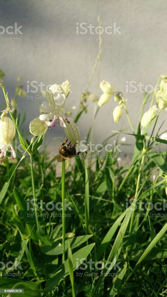Domestic bee picking pollen from beautiful white rings stock photo