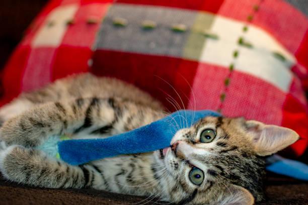 Domestic bengal kitten picture id1003584638?b=1&k=6&m=1003584638&s=612x612&w=0&h=ab4plgzxg0u8nrqotqtsxng6ats9p2ayn8b q88kwuc=