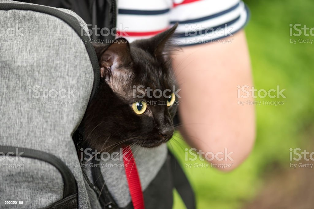 Domestic black cat in backpack traveling with an owner, pet in a park stock photo
