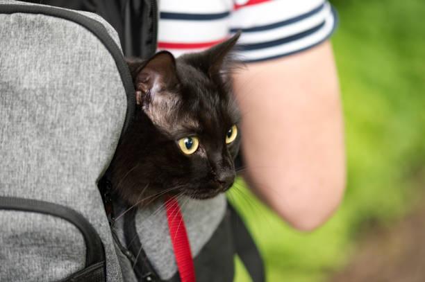 schwarze hauskatze im rucksack reisen mit einem besitzer haustier in einem park - katzengeschirr stock-fotos und bilder