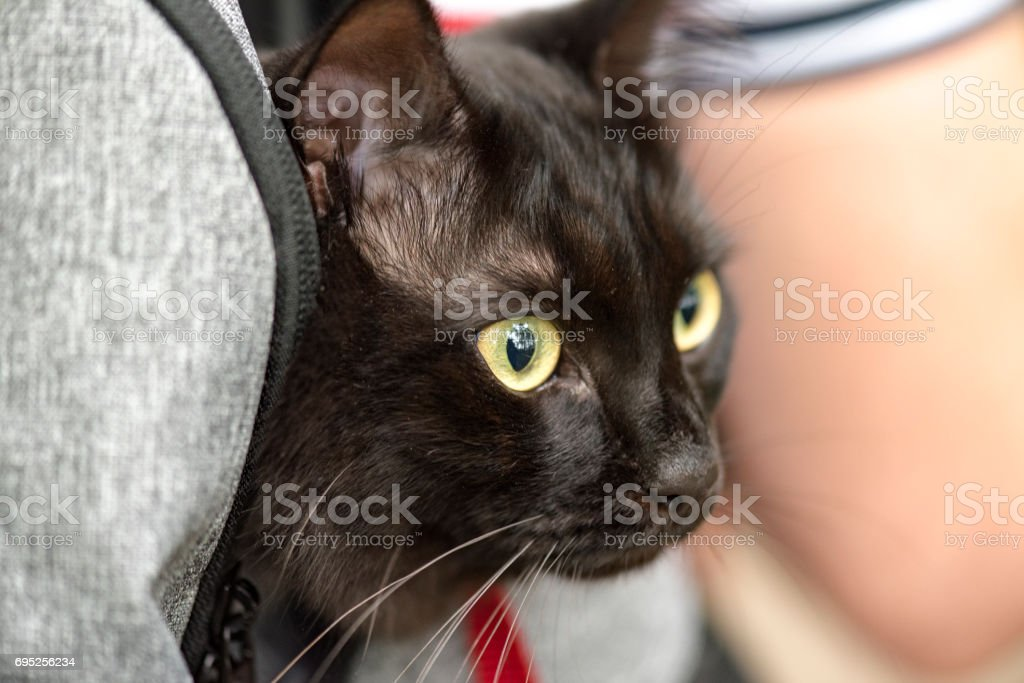 Domestic black cat in backpack traveling with an owner, pet in a park