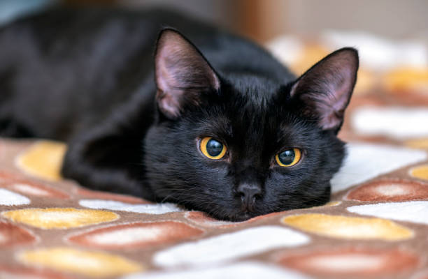 Domestic black Cat looking in front of Camera and lying on the Bed. Portrait of black Cat at Home Domestic black Cat looking in front of Camera and lying on the Bed. Portrait of black Cat at Home black cat stock pictures, royalty-free photos & images