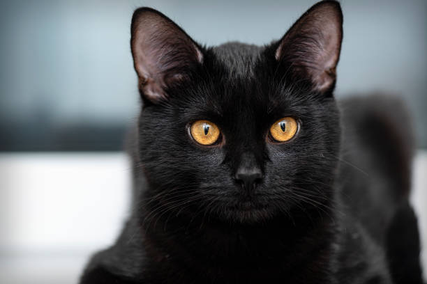 Domestic black Cat looking in front of Camera. Portrait of black Cat at Home Domestic black Cat looking in front of Camera. Portrait of black Cat at Home black cat stock pictures, royalty-free photos & images