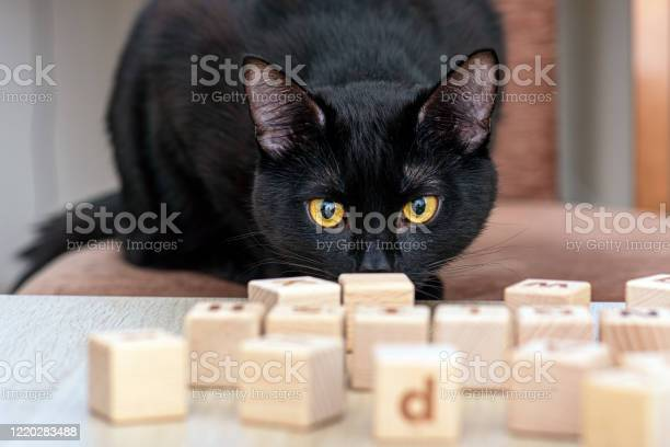 Domestic black cat playing with toys wooden cubes picture id1220283488?b=1&k=6&m=1220283488&s=612x612&h=0trkcede2nyrgnkehw9i37tj7jsbtii6ibwezyjcvfq=