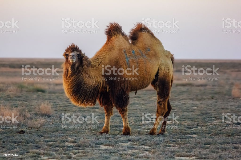 Domestic brown bactrian two-humped camel in desert of Kazakhstan stock photo