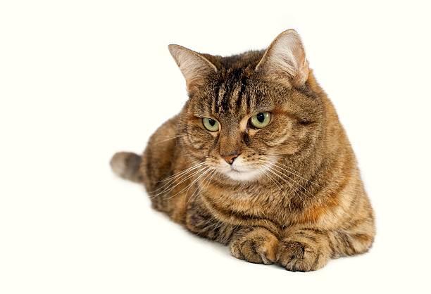 Domestic brown cat on white looking picture id157674266?b=1&k=6&m=157674266&s=612x612&w=0&h=wdxreyyjhg7skztytu5jvw67 jrtdgyqzuigtsll a0=