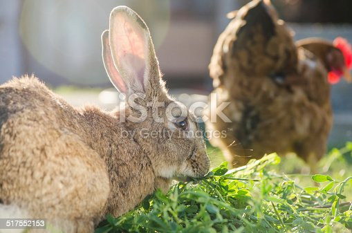 istock Domestic brown rabbit eating grass behind a hen 517552153