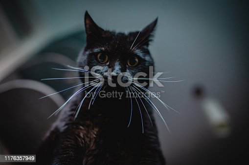 Domestic black cat is sitting at home looking at camera