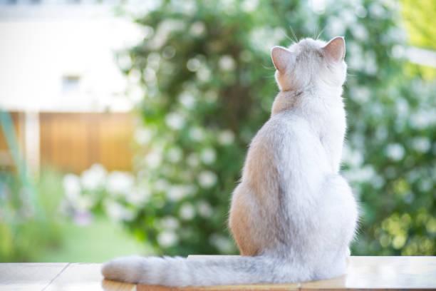 家貓品種蘇格蘭金絲雀直走戶外圖像檔