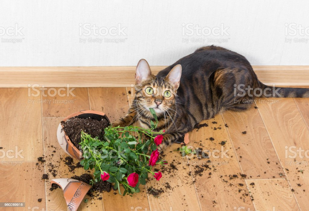 Domestic cat breed toyger dropped and broke flower pot with red roses and looks guilty. royalty-free stock photo