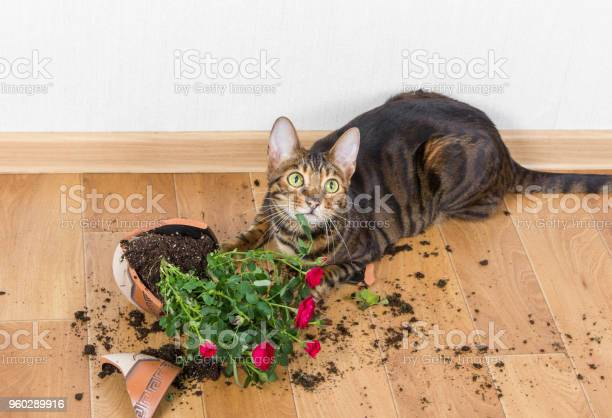 Domestic cat breed toyger dropped and broke flower pot with red roses picture id960289916?b=1&k=6&m=960289916&s=612x612&h=c9ltfwaxy1tnvv2bklvtaqmu5txyluj7gshonmin1oe=