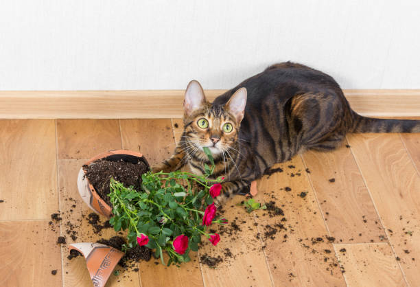 Domestic cat breed toyger dropped and broke flower pot with red roses and looks guilty. Domestic cat breed toyger dropped and broke flower pot with red roses and looks guilty. Concept of damage from pets. mischief stock pictures, royalty-free photos & images