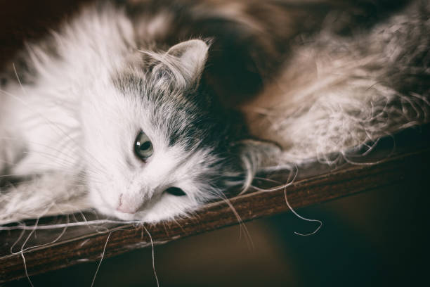 Domestic cat close up portrait. Norwegian forest cat. stock photo